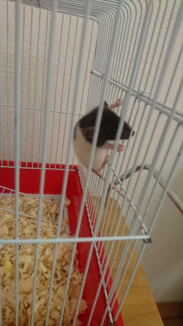 Крысы-подростки бунтуют. Длиннопост, Крысы дома, Декоративные крысы, Говно, Недоумение, Крысоводы