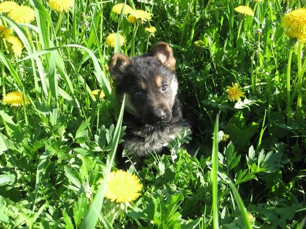 До свиданья) Собака, немецкая овчарка, лучший друг, длиннопост