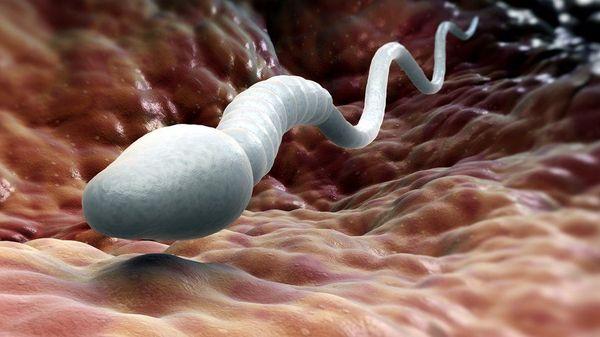 У кого самые большие сперматозоиды на планете наука, сперматозоиды, яйцеклетка, половая система, репродуктивная система, длиннопост