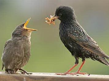 Особенности кормления  птенцов и слетков разных видов птиц. Слетки, Птицы, Кто виноват, Длиннопост, Биология, Орнитология, Кормление птенцов