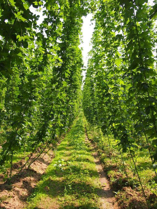 Хмелеводство - как это делается в Германии. Часть 3. Хмель, Хмелеводство, Германия, Растениеводство, Сельское хозяйство, Длиннопост