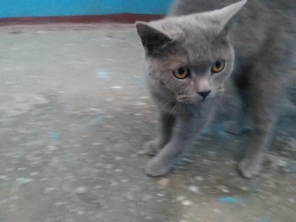 Молодой котик ищет дом! (г. Барнаул) Кот, британец серый, Кот в добрые руки, отдам в хорошие руки, Барнаул, длиннопост