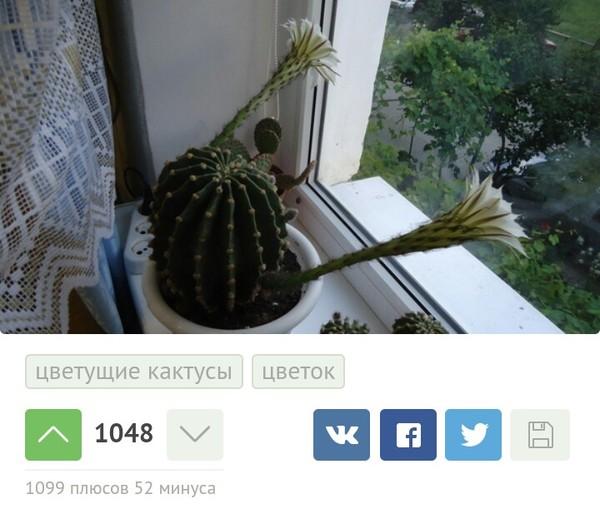 Неожиданно цветущие кактусы, член, грибок, Комментарии