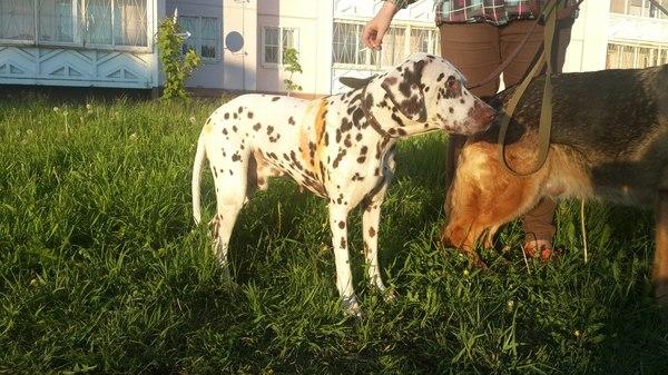 Далматин в добрые руки (Петрозаводск) Собака, в добрые руки, далматин, карелия, петрозаводск, помощь
