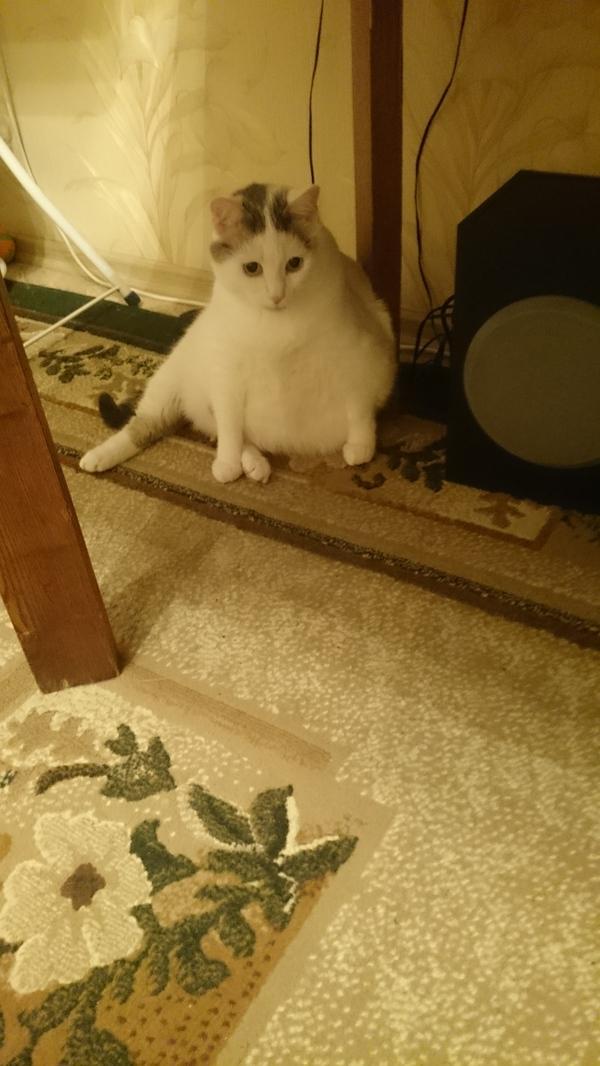Ждун. Белая версия. кот, Ждун, длиннопост