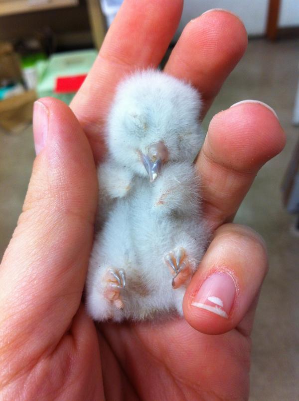 Новорожденная сова
