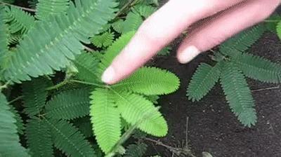 Тропическое растение мимоза стыдливая (Mimosa pudica) Mimosa pudica, Мимоза, Гифка