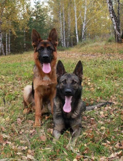Друзья Собака, немецкая овчарка, овчарка, длиннопост
