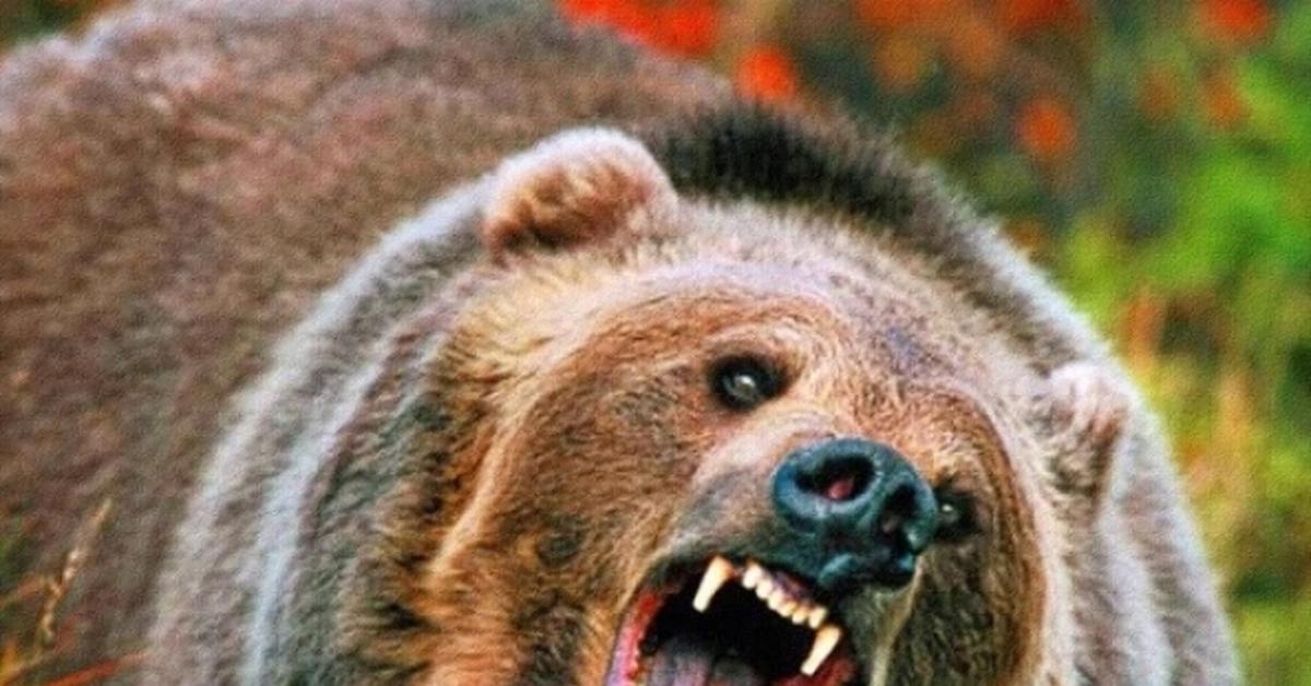 do black bears attack humans - 992×558