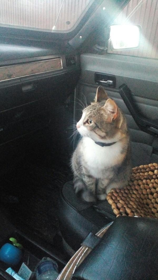 Кошка-путешественница путешествия, трехцветная кошка, автомобилисты, волга, штурман, кот