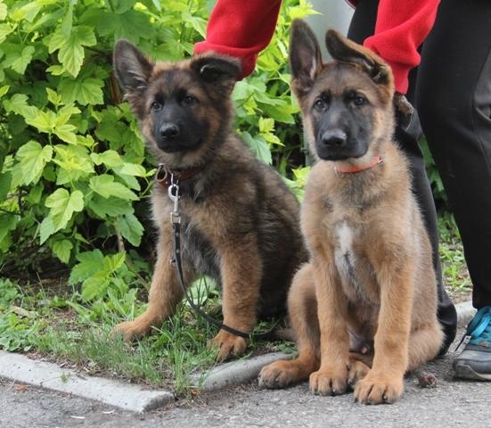 Первые прогулки. щенки, Собака, немецкая овчарка, длиннопост