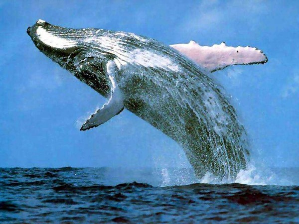 Удивительные факты о китах Кит, Кашалот, Факты, Планета Земля, Животные, Дельфин, Океан, 23 июля, Видео, Длиннопост