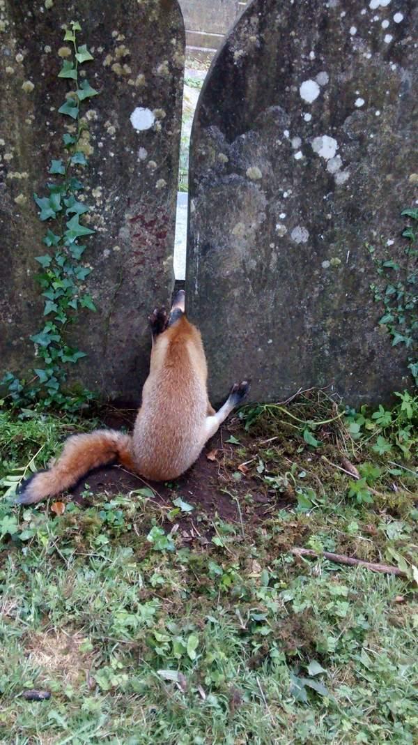 Освободить лиса! лиса, застрял, Помощь, длиннопост