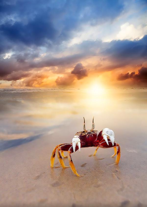Закатный крабик Фотография, Краб, Море, Закат, Пляж