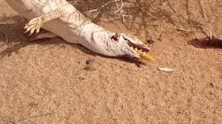 Варан проглотил другую большую ящерицу Варан, Ящерица, Животные, Гифка, Видео, Жесть