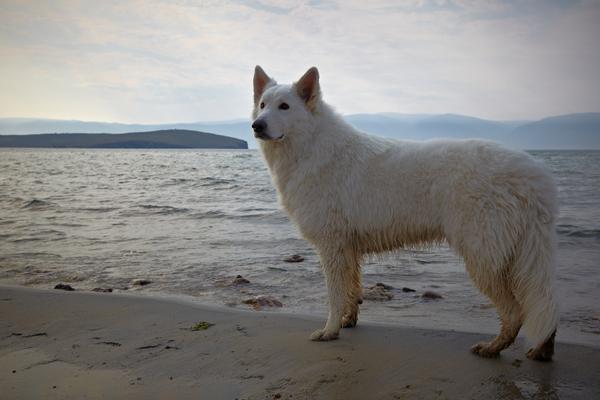 Стих про собаку и море. Отрывок. Собака, стихи, море, байкал, БШО, Цезарь