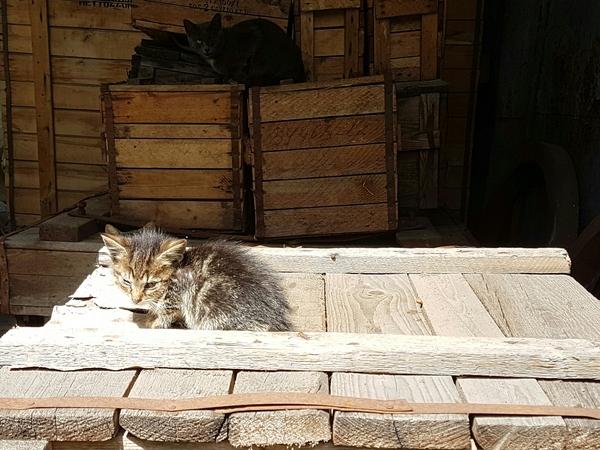 Котята ищут дом (Москва) Кот, В добрые руки, Отдам, Москва, Длиннопост