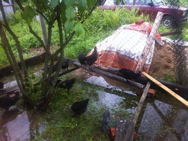 Немного о погоде в МО куры, погода радует, потоп, сельское хозяйство, Московская область