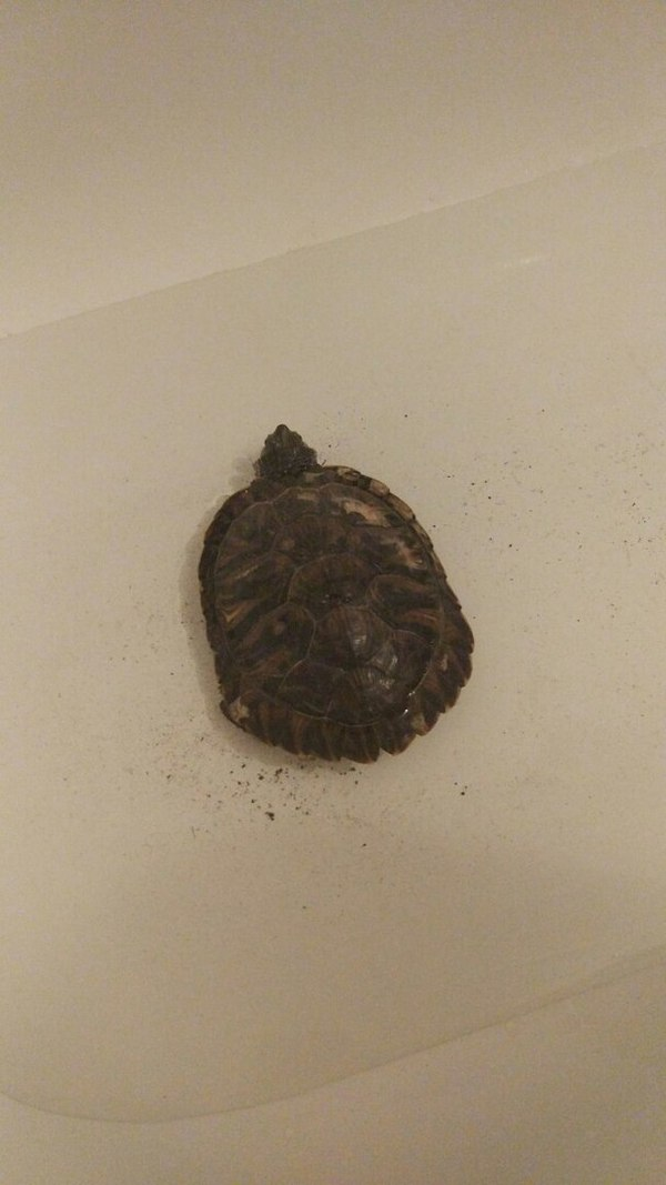 Нашлась черепаха Черепаха, Потеря, Красноухая черепаха, Отдам, Потеряшка, Длиннопост