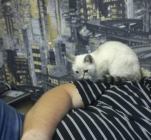 Пушистое поплнение Кот, Находка, Тайская кошка, Пополнение