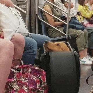 Собак в нью-йоркском метро можно перевозить только в сумках.