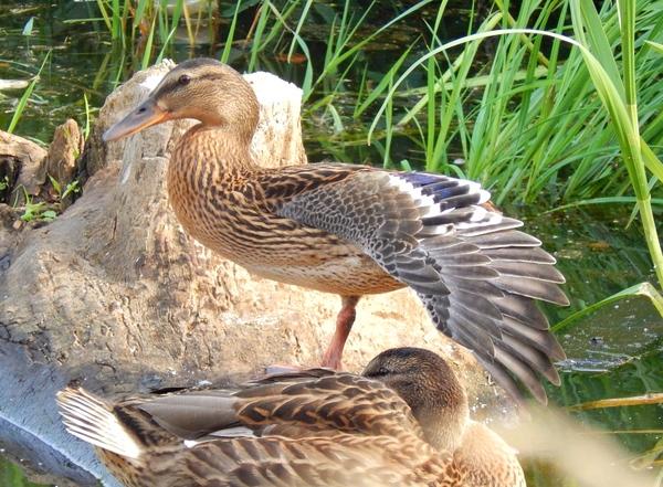 Пост для тех, кто забыл, что утки тоже прекрасны Птицы, Утка, Природа, Длиннопост