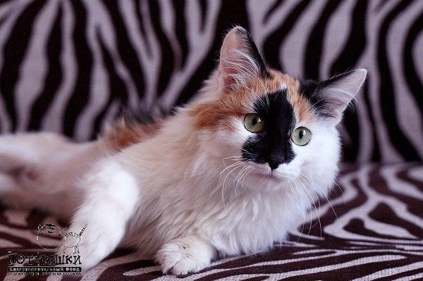Ванда. Победившая смерть. трехцветная кошка, Уфа, потеряшка, в добрые руки, длиннопост