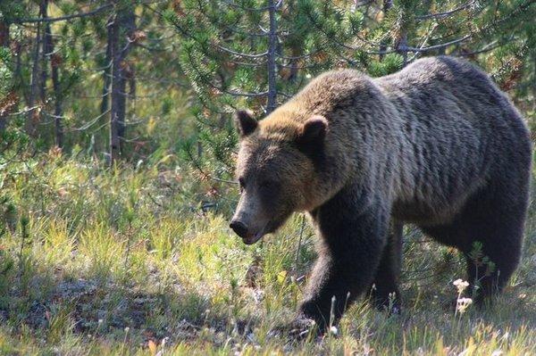 Медвежий танец с шестом Красноярск, Заповедник Столбы, Медведь, Танцы, Видео