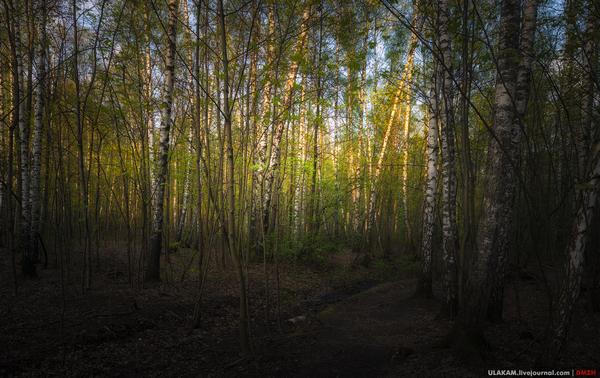 Берёзки и тропинки. вечер, закат, лес, парк, дерево