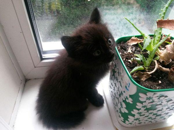 Владивосток забери зверя, год 2. кот, Черный, владивосток, отдам в хорошие руки