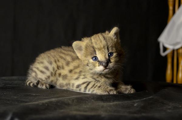 Недавно родились котята сервала сервал, домашний сервал, кот, длиннопост