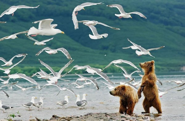 Камчатские медвежата