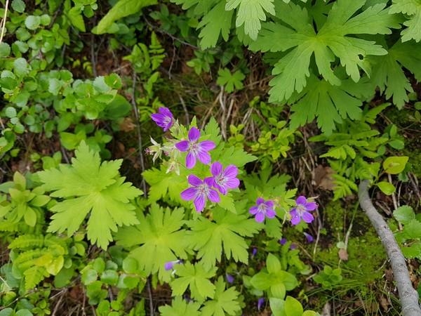 Северные цветы Цветы, Кольский полуостров, Длиннопост