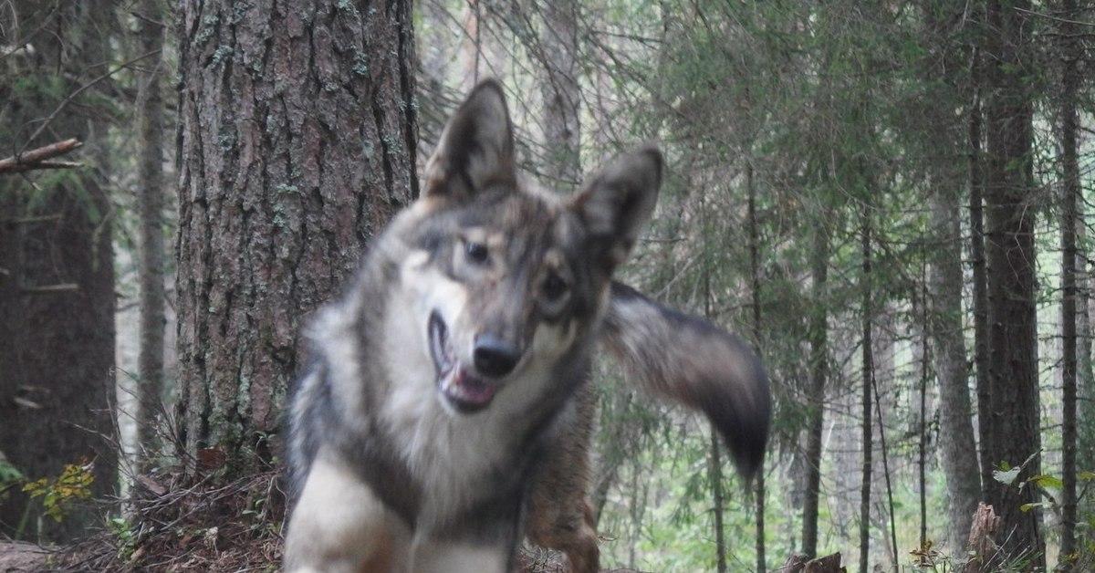 Укусил за бочок картинка с волком