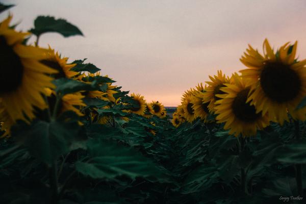 Подсолнухи моё, фотография, пейзаж, Россия