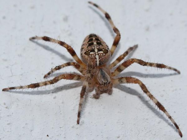 Сердитый сосед паук, арахнафобия, че надо?