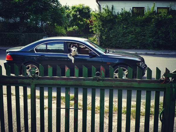 Кого подвезти.... машина, Собака, хаски