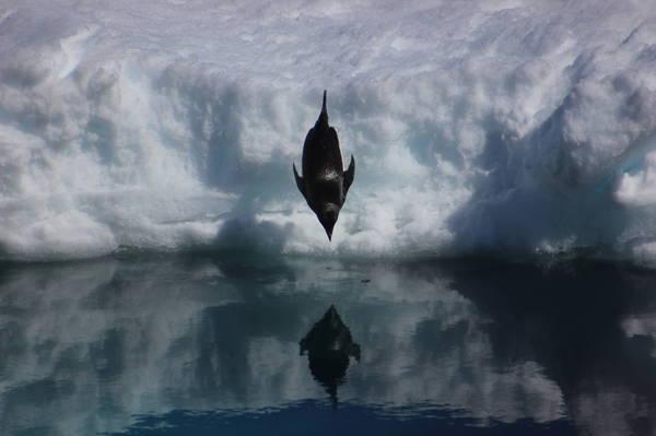 Пингвинчик пингвины, пингвин Адели, Антарктида