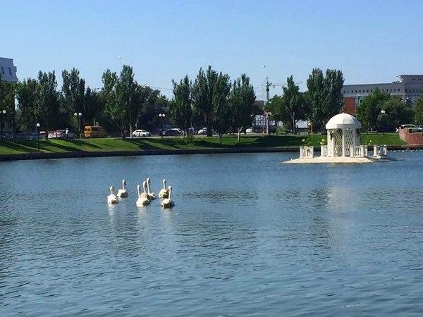 Неизвестный подбросил новых лебедей на Лебединое озеро астрахань, лебеди, доброта