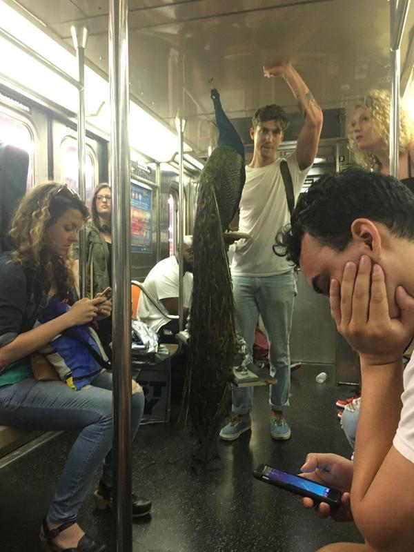 Просто парень везет павлина в метро Нью-Йорка
