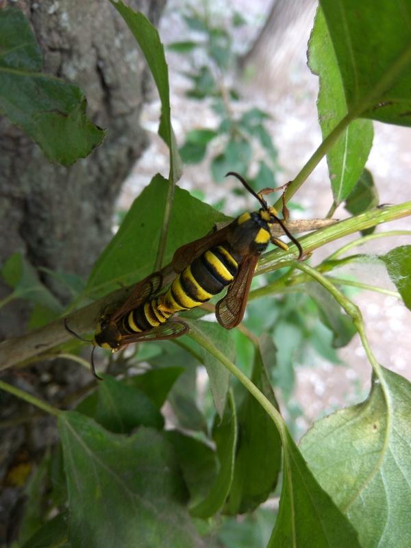 Очень странная оса Оса, Мотылек, Мимикрия, Мимикрия у насекомых, Спаривание