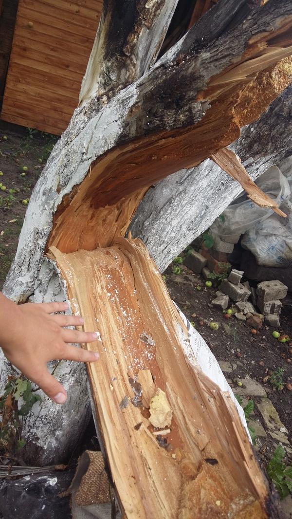 Ветка перфекциониста перфекционизм, ветка, дерево, яблоня, 90 градусов, дача, ураган, сломалось, длиннопост