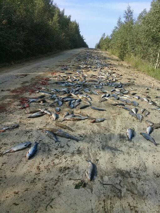 Медведи в Хабаровском крае съели тонну выпавшей из грузовика рыбы новости, Рыба, камаз, Хабаровский край, Бухой водитель, медведь