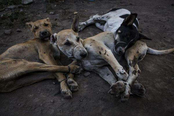 Жуткие кадры с индонезийской скотобойни, где убивают собак жесть, Собака, это очень вкусно, длиннопост