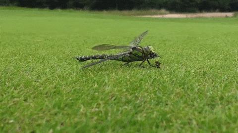 Стрекоза доедает нижнюю часть осы, в то время как верхняя ползёт на встречу Гифка, Оса, Стрекоза, Зомби, Крипота, Насекомые