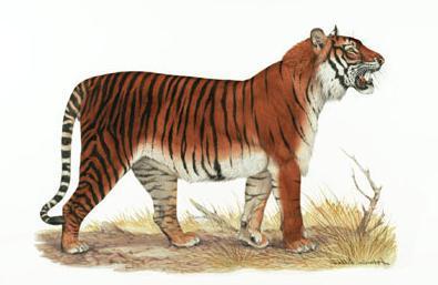 Балийский тигр тигр, вымерший вид, балийский тигр, палеонтология, доисторические животные, длиннопост
