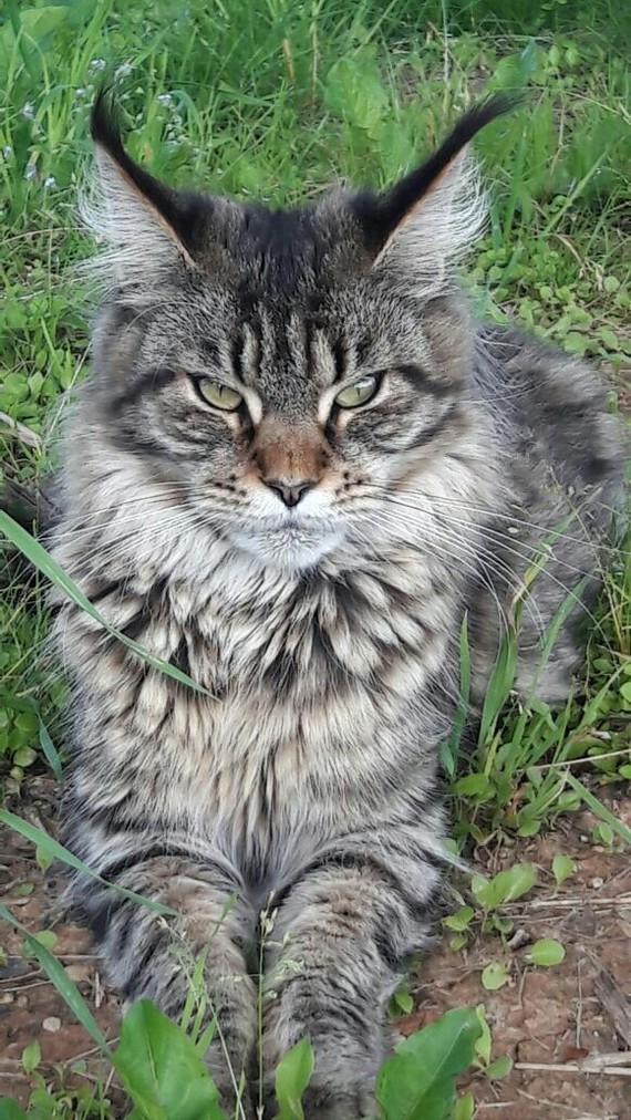 Кошка готовая убивать... кот, питомец, ненависть, зло, Мяу