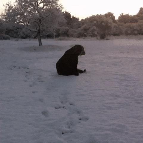 Цирковой медведь впервые увидел снег.