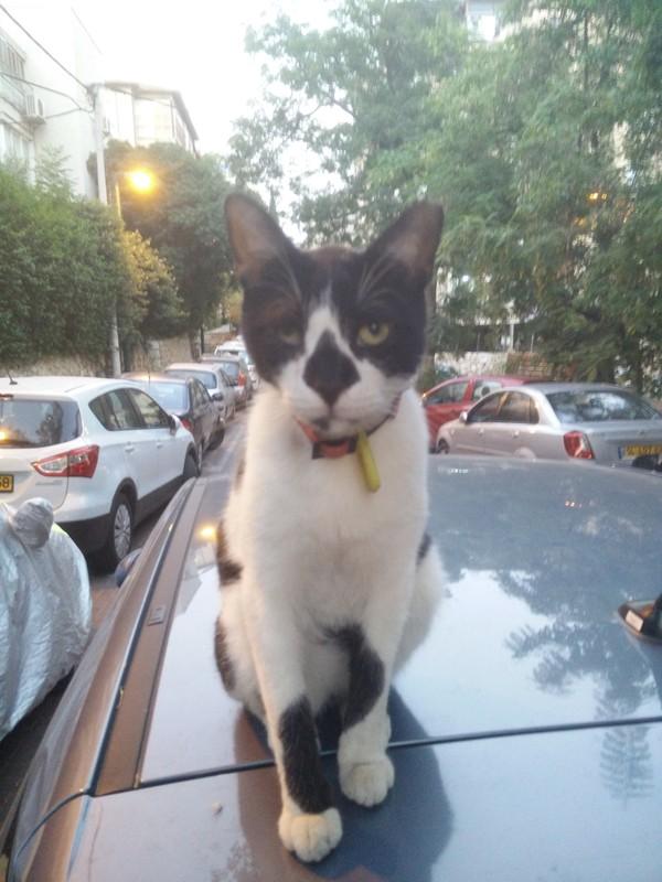 Соседский кот охраняет мою машину кот, охранник