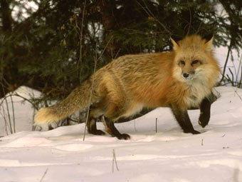 в белоруссии лиса выстрелила в охотника из ружья фото